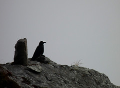 quoth the raven (com4tablydumb) Tags: india tourism nature trek scenery wildlife hills uttaranchal himalayas monal northernindia uttarakhand tungnath chopta monalpheasant alpinehabitat