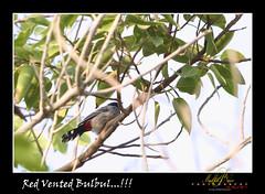 Red Vented Bulbul (Madhu P. Nair Photography) Tags: park sea bird beach nature silhouette marina sunrise canon morninglight bahrain seaside side earlymorning sparrow shape marinabeach 50d ef70200f28lisusm 2009allrightsreserved madhupnairphotography
