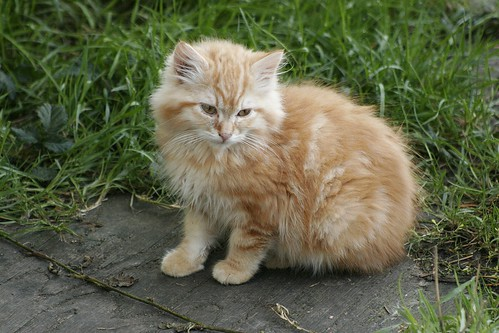 Big Fluffy Orange Kitten