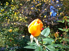 Rose (melisabates) Tags: nc dukegardens fall09