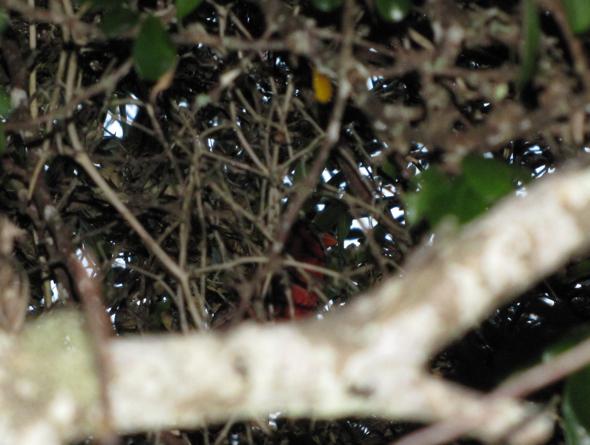 bird11_cardinal