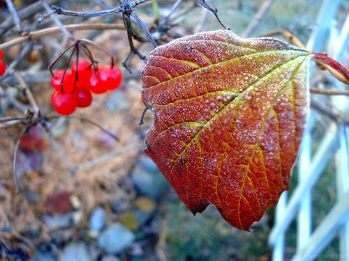 November comes and November goes, with the last red berries, and the first white snows. --E.Coatsworth