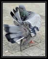 pigeon contorsionniste (jd.echenard) Tags: pigeon taube oiseau plumes ailes bielersee acrobatie lacdebienne theunforgettablepictures vosplusbellesphotos