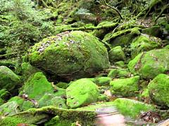 IMG_2302 (Emi_S) Tags: kyo ravine yakushima sugi ceder jomon unsui shiratani kagoshimaprefjapan