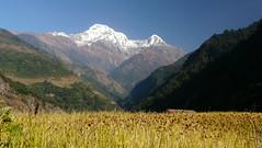 ABC: millet field at Landruk (Eric Lon) Tags: nepal trek abc himalaya sanctuary annapurnas ericlon
