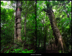 Deadly Embrace (szeke) Tags: travel plant tree guatemala selva jungle tikal parasite peten