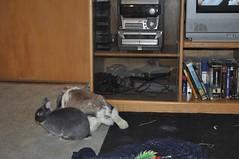 the end of a Bella bink (sensitivebunnyguy) Tags: dwarf lopear netherlanddwarfrabbit cutebunnies cuterabbits cuterabbitphotos cutebunnyphotos bunnyvideos