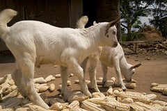 """DSC_4831_goats • <a style=""""font-size:0.8em;"""" href=""""http://www.flickr.com/photos/35665144@N00/4311608632/"""" target=""""_blank"""">View on Flickr</a>"""