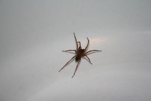 house spider #592