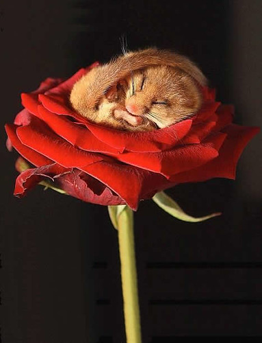mouse-on-rose