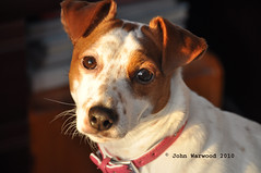 By the last rays of the days sun (JRT ) Tags: dog sun face fur jack nose bed eyes nikon jrt russell sunny ears whiskers terrier jackrussell belle collar jackrussellterrier d90 brownhead mygearandmepremium johnwarwood flickrjrt