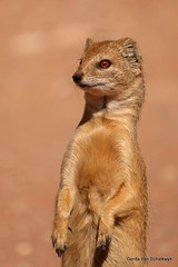 Who goes there? (gerdavs) Tags: kalahari mongoose yellowmongoose cynictispenicillata kgalagadi specanimal geelmuishond
