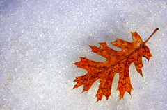 Seasons (*~Dawn~*) Tags: autumn winter snow leaf seasons minimal yosemite simplicity yosemitenationalpark february valentinesday winterinyosemite mirrorlaketrail platinumphoto snowyleaf yosemiteinfebruary justsawitandsmiled valentinesdayatyosemite