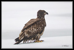 Waiting For Otto (Tomcod) Tags: travel winter white canada water beautiful beauty newfoundland poster wings gallery graphic eagle background baldeagle beak feathers young atlantic remote lovely predator avian birdofprey talons ecotourism haliaeetus leucocephalus juvenilebaldeagle quidividilake hookedbeak ruralstjohns