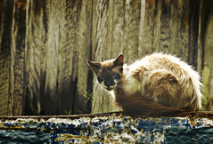 Lit by the sun, beat by the men (AnnuskA  - AnnA Theodora) Tags: light sun animals wall cat hurt stray lit afraid scared woodenhouse adopt adoption earthtones feral frightened againstanimalcruelty taleofthecat thecatwhoturnedonandoff