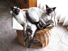 Overlap (bclee) Tags: cats cat kitten basket siamese kittens enfuse