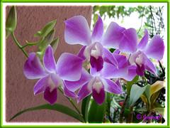 Dendrobium phalaenopsis 'Sonia'