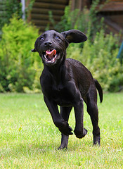 Woopy !!! (sjaradona) Tags: dog pet black animal canon garden labrador 2009 kangoo