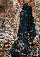 charcoal_WM (Tara R.) Tags: nature treestump controlledburn charred