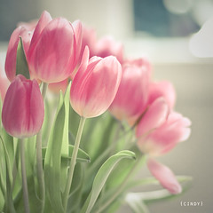 ({cindy}) Tags: pink flowers light green window tulips bokeh explore textures 365 flypaper 365days