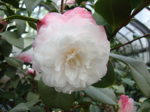 Something Beautiful, Camellia Japonica