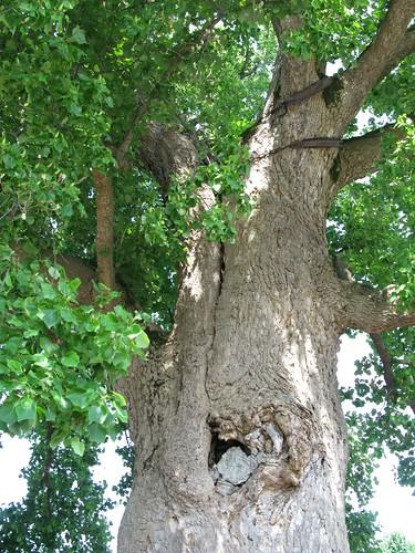 Сочи, Лазаревский район: Тюльпанное дерево