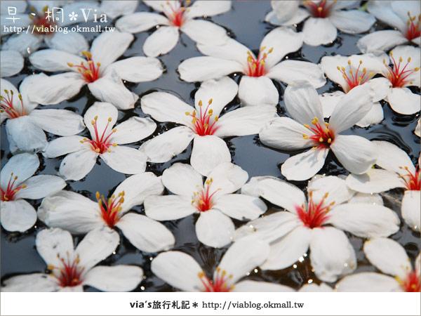 【2010桐花祭】桐花最新情報*彰化挑水古道油桐花14