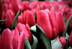 Pretty Tulips (A Gre