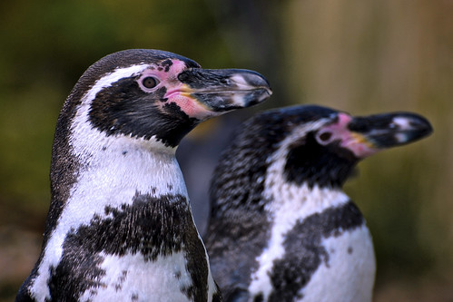 Humbold Penguins In Profile