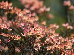 Cornus florida 'Stokes Pink' (--ki---) Tags: dc washington arboretum dogwood usna cornus