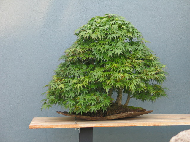 <em>Acer palmatum</em> in forest style. Photo by Medi Blum.&#8221; /></a></p> <div><em>Acer palmatum</em> &#105;&#110; forest style. Photo &#98;&#121; Medi Blum.</div> </div> </div> </div> </div> </div> <div> <div><img src=