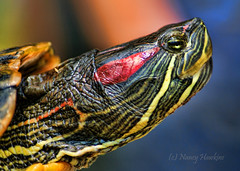 Turtle Profile (Nancy Hawkins) Tags: portrait cute nature closeup mexico colorful turtle reptile wildlife profile shell manzanillo specanimal