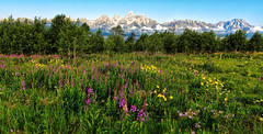Wildflowers in the Tetons (Jeff Clow) Tags: summer usa landscape wildflowers grandtetonnationalpark jacksonholewyoming jeffrclow jeffclowphototours