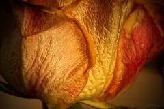 Rose (2) (Ellenore56) Tags: 10022017 rose edelrose rosenblüte blüte blume flower blütenzauber orange schönheit beauty blütenblatt floribunda romantik romance flowers bloom flora floral pflanzenwelt magicofflower botanik botanical struktur structure textur texture emotion geschenk present zauberhaft detail makro macro moment augenblick sichtweise perception persepktive perspective reflektion reflection reflexion farbe color colour licht light inspiration imagination faszination magic magical natur nature pflanze plant stimmung mood spirit animus atmosphäre atmosphere sonyslta77 ellenore56