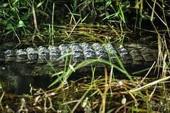 corazza al sole (Diego uba) Tags: alligatore ramiamo trail miami florida rettile corazza riposo
