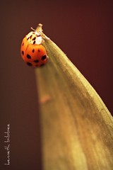 ladybug (Kenneth B) Tags: light red black macro closeup lady canon bug 50mm leaf wings dof angle spots ladybug xsi naturesfinest