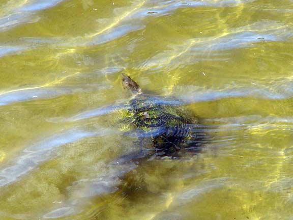 Underwaterturtle.jpg