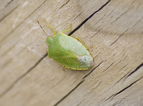 Acrosternum hilare - Green Stink Bug