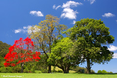 Brachychiton acerifolius - Illawarra Flame Tree (Black Diamond Images) Tags: flowers trees red flower tree spectacular rainforest native australia nsw queensland malvaceae 1770 blackdiamond redflowers nativeplants floweringtree floweringtrees australiannativeplant australiannative sterculiaceae australianflora australiannatives bdi ruralgardens brachychitonacerifolius beautifultrees brachychiton australiannativeplants midnorthcoast sigma1770 australianplants australiantrees rainforestplants rainforestplant australianrainforest arfp manningvalley rainforesttrees australianrainforests blackdiamondimages australianrainforestplant australianrainforestplants magnificenttrees flowersrainforest beautifulfloweringtrees floweraustralian hannamvale nswrfp qrfp redfloweringtrees australianrainforestflowers arfflowers beautifulaustralianrainforesttrees redfp redarfflowers flowersaustralian