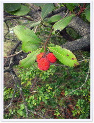 These trees are already decorated for the holidays ! (Cozy Memories) Tags: autumn france nature seasons edible strawberrytree arbutusunedo hrault marl fossilhunting rollip