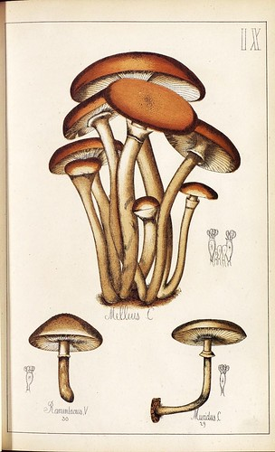 Melleus, Ramenlacus et Mucidus spp.