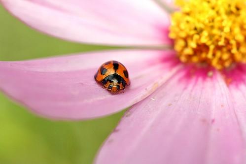 フリー画像| 節足動物| 昆虫| てんとう虫/テントウムシ| コスモス|       フリー素材|