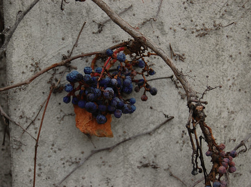 Berries trembling at the thought of winter
