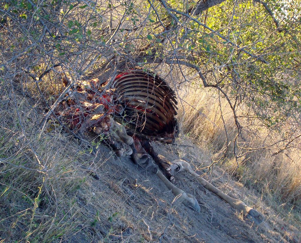DSC08442 giraffe carcass