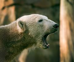[フリー画像] [動物写真] [哺乳類] [熊/クマ] [シロクマ] [吠える] [叫ぶ]     [フリー素材]