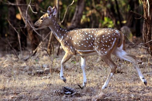 Low 2009-11-29 Sasan Gir - 01 Safari 17