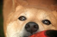 Never Let Go (dancingshiba) Tags: dog ball soccer hana tug shiba inu inyourface