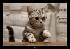 Jump (nune) Tags: animal cat jump 2009 britishshorthair sissi blueribbonwinner supershot britischkurzhaar impressedbeauty platinumheartaward goldstaraward catmoments bestofmywinners