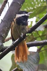 Biatas nigropectus - White-bearded Antshrike (arthurgrosset) Tags: fbwnewbird fbwadded papobranco biatasnigropectus whitebeardedantshrike