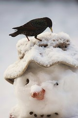 Snowman and Starling, such close friends (www.willdawesphotography.co.uk) Tags: snow ice snowman frost starling will dawes monkseaton wwwwilldawesphotographycouk
